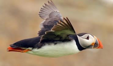 Animals puffin birds HD wallpaper