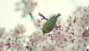 Japanese whiteeye birds cherry blossoms nature HD wallpaper