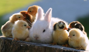 Cute rabbit and chicks HD wallpaper