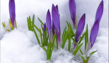 Crocuses in the snow HD wallpaper