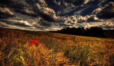 Grain and poppies HD wallpaper