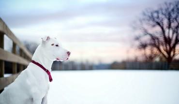 Snow dogs HD wallpaper