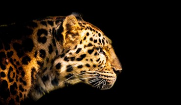 Cats leopards HD wallpaper