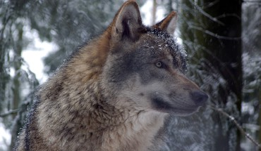 Grey wolf in forest HD wallpaper