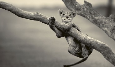 Animals baby grayscale lions HD wallpaper