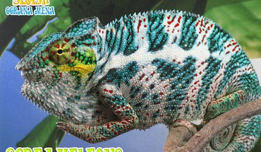 Animals chameleons slash reptile reptiles chameleon HD wallpaper