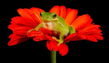 Frogs black background red flowers amphibians HD wallpaper