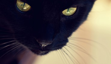 Animals black cat yellow eyes furry domestic HD wallpaper