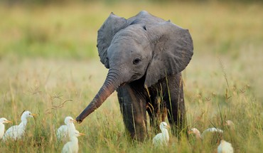 Africa animals baby elephant birds HD wallpaper