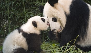 China animals panda bears playing baby HD wallpaper