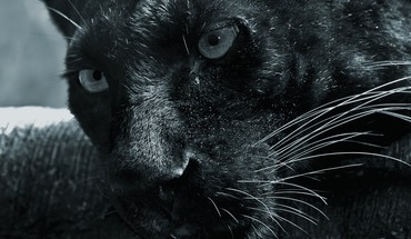Animals closeup panthers HD wallpaper