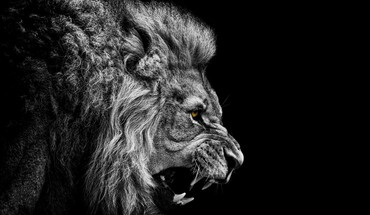 Black and white angry the king mountain lion HD wallpaper