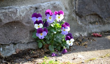 Minimalistic flowers pansies HD wallpaper