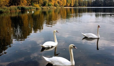 Trees swans ponds birds HD wallpaper