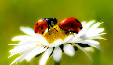 Insects ladybirds daisies HD wallpaper