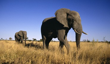 Africa animals elephants male HD wallpaper