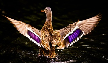 Water birds ducks ripples landing HD wallpaper