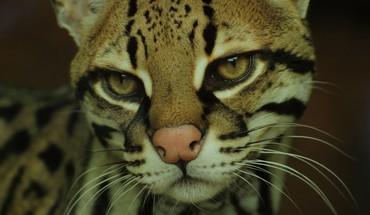 Ocelot close up HD wallpaper