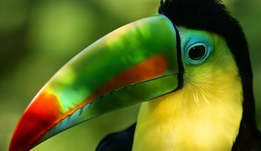 Birds toucans HD wallpaper
