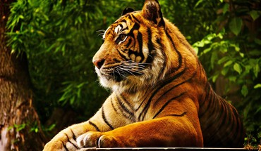 Animals feline forests tigers HD wallpaper