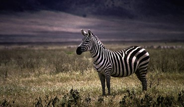 Nature animals zebras HD wallpaper