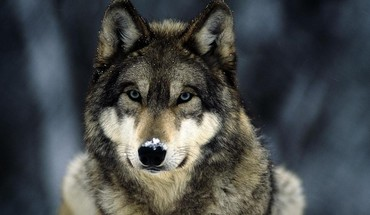 Blue eyes snow landscapes grey wolf wolves HD wallpaper