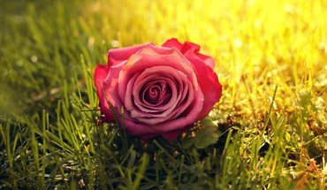 Nature flowers grass sunlight roses pink rose HD wallpaper