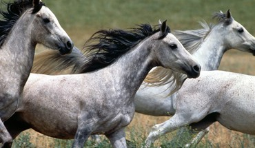 Arabian horse animals horses running HD wallpaper
