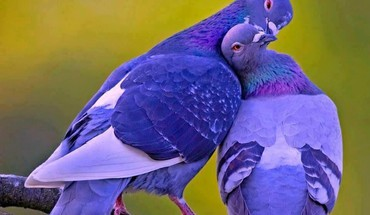 Birds pigeons HD wallpaper