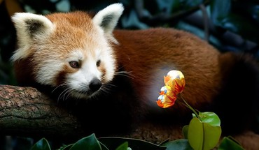 Firefox animals plants red pandas HD wallpaper