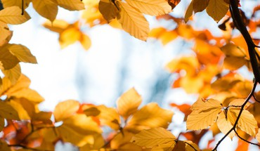 Nature autumn (season) yellow leaves macro focused HD wallpaper