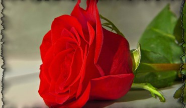 Flored rose HD wallpaper