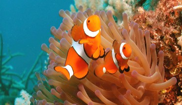 Clown fish picture HD wallpaper