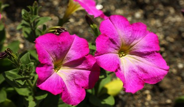 Flowers nature petunias pink HD wallpaper