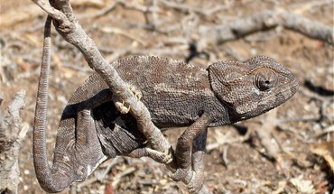 Animals reptiles chameleon HD wallpaper