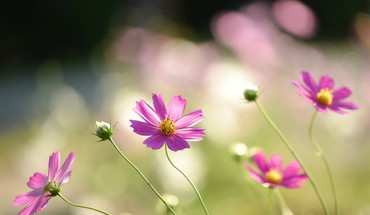 Flowers pink cosmos flower HD wallpaper