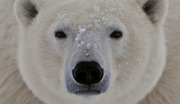 Animals closeup polar bears HD wallpaper