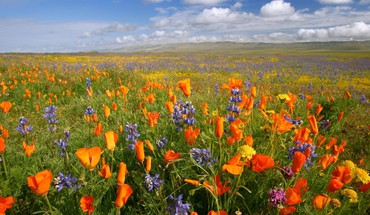 California national monument meadows orange plain poppies HD wallpaper