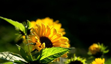 Nature flowers sunflowers yellow HD wallpaper