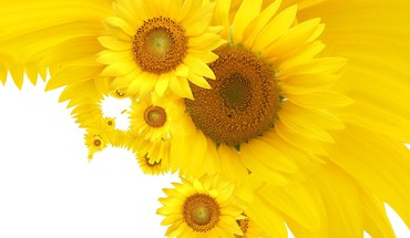 Its sunflowers HD wallpaper