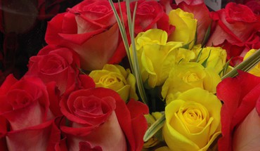 Red yellow roses HD wallpaper