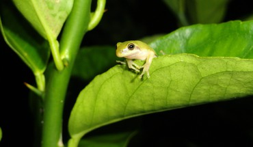 Green frog on leaf HD wallpaper