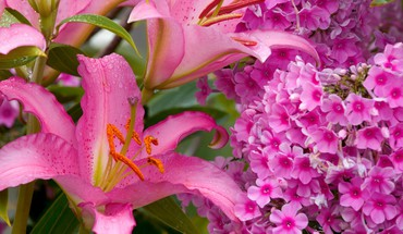 Flowers phlox lilies pink HD wallpaper