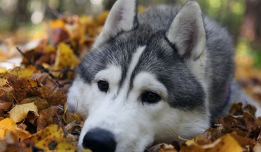 nature animaux chiens husky  HD wallpaper