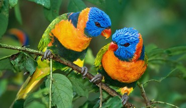 Parrots bird couple HD wallpaper