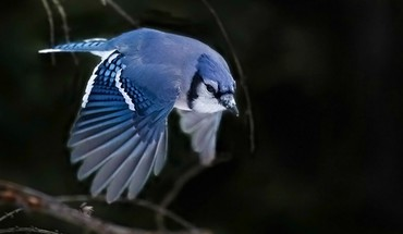 Blue jay HD wallpaper