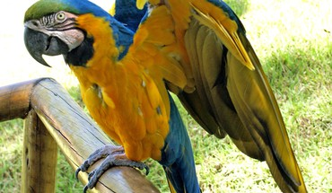 Blueandyellow macaws birds parrots HD wallpaper