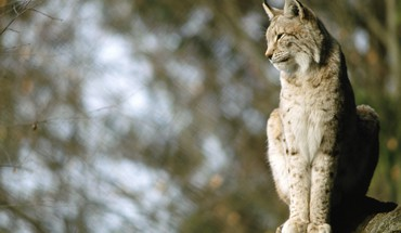 Nature animals lynx blurred background HD wallpaper