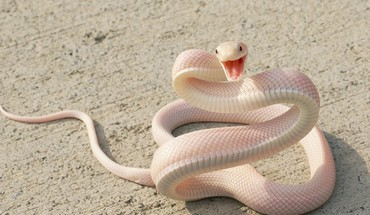 Snakes albino HD wallpaper