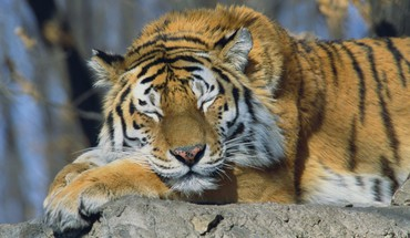 Russia siberian tiger animals sleeping tigers HD wallpaper